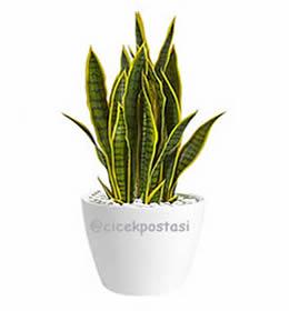 Sansaveriya peygamber kılıcı /Bitki adı :Sansaverya türkçe adı : peygamber kılıcı ortalama boyu 40-60 cm kalıcı çok yıllık saksı çiçeği