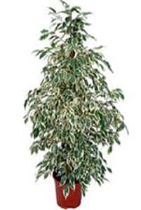 Starlight (Beyaz) yapraklı Benjamin saksı çiçeği boy (140-170 cm)