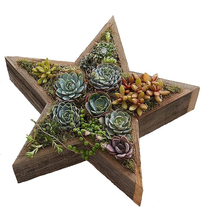 Yıldız konsept teraryum aranjman / Yıldız şeklinde ahşap saksıda 12 adet sucullent bitkilerinden hazırlanmış özel konsept aranjman