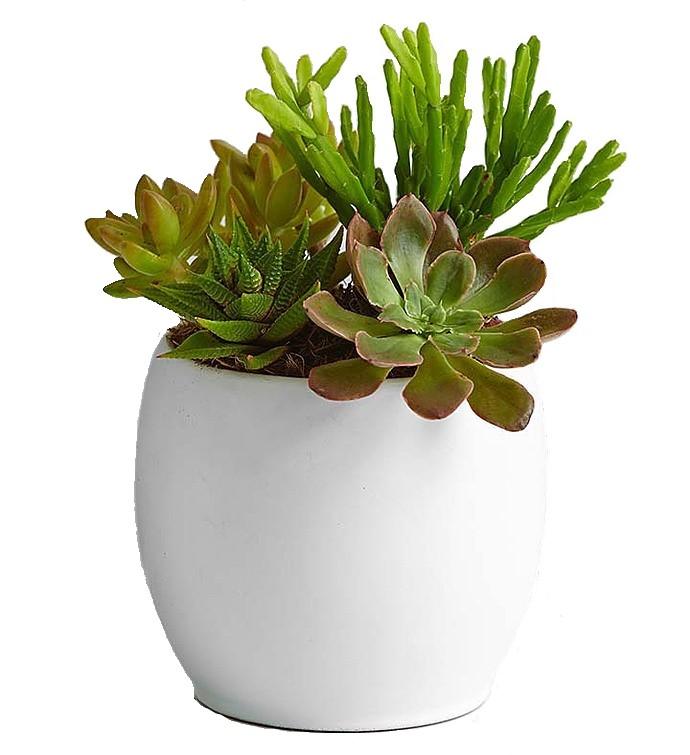 Suculent konsept /Beyaz seramik vazo içerisinde 4 adet sukulent bitkleri ile hazırlanmış teraryum aranjman kalıcı saksı çiçeği (bitki)